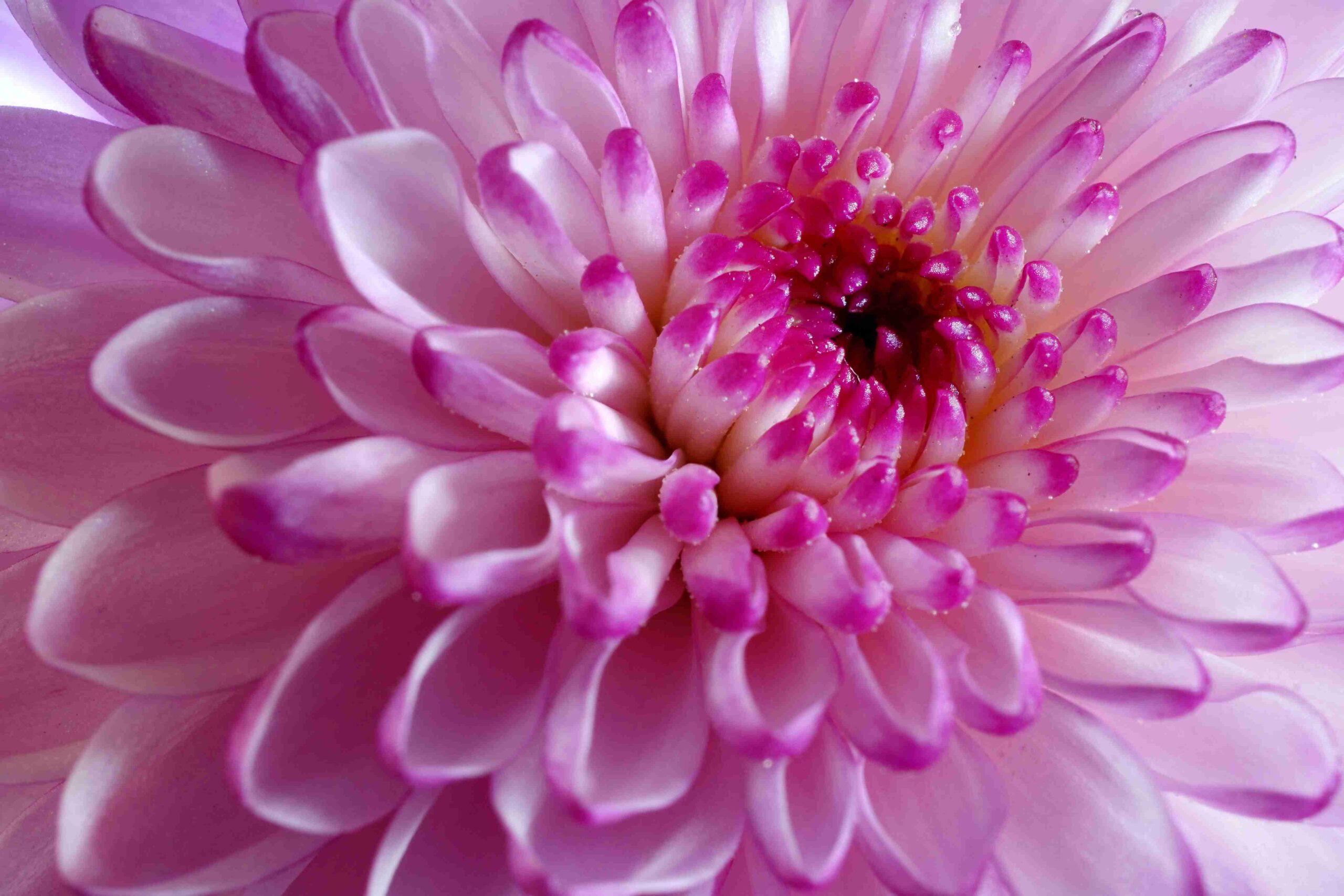 Pink flower opening